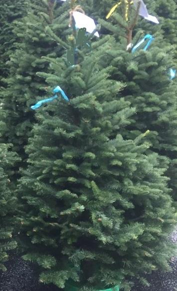 オレゴン産モミの木