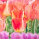 tulip_1